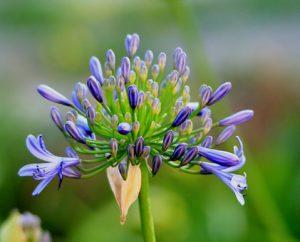 Blume lila