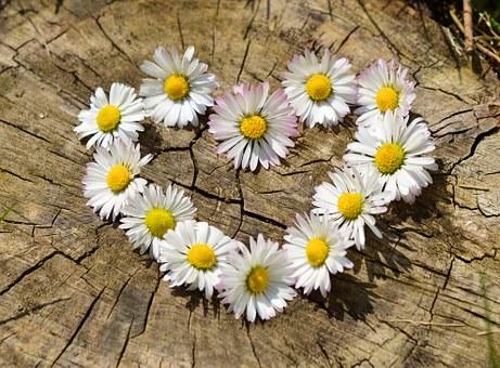 Gänseblümchen in Herzform