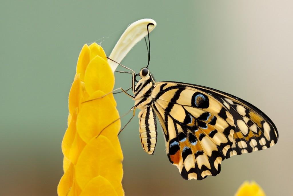 Schmetterling an einer Blüte